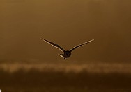 Barn Owl (Tyto alba) adult, in flight, backlit, hunting at dusk, Norfolk, England, February