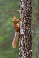 Squirrel (Sciurus vulgaris) at pine trunk, Norway