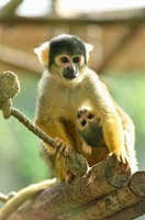 Close-up of a Common squirrel monkey (Saimiri sciureus) mother with her youngster in autumn.