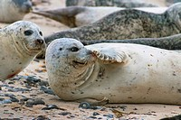 harbor seal, common seal (Phoca vitulina), sick seal grinds its nose, Germany, Schleswig-Holstein, Heligoland