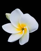 Branch of tropical flowers frangipa