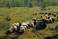 flock of sheep, near Epidaurus, Argolid, Peloponnese, Greece, Southern Europe.