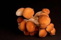 Black poplar mushroom