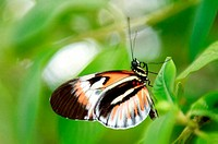 Piano Key butterfly hanging from a leaf perch.