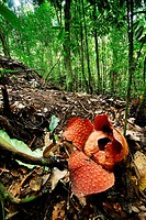 Rafflesia tuan-mudae in Gunung Gading national park, Sarawak, Malaysia, Borneo.