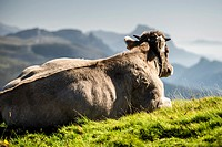 Standed Cow at Añisclo Valley near of Ordesa and Monte Pedrido National Park, Huesca Pyrenees, Aragon, Spain.