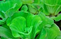 Water lettuce, Pistia