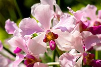 Pink Butterfly Orchid Banquet
