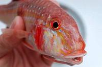 Head of fish