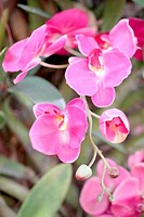 Pink orchids on trees.