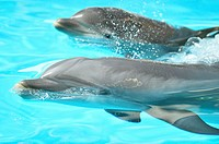 Close-up of a dolphin-calf of a common bottlenose dolphin or Atlantic bottlenose dolphin (Tursiops truncatus) with it´s mother in a zoo in Germany.
