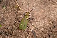 Green Tiger Beetle (Cicindela campestris), Baden-Württemberg, Germany