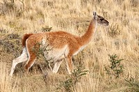 Guanacos grazing in Torres del Paine National Park, Patagonia, Chile.