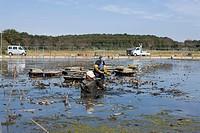 Japan, Kanto Region, Ibaraki Prefecture, Tsuchiura, Farmer digging lotus root