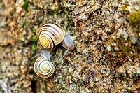 small garden snail
