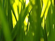 grass photosynthesis