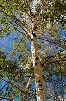 birch closeup