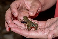 Crayfish Procambarus clarkii captured in a Spanish creek where it is an invasive species severly harming local vicariant species.