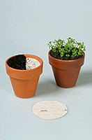 PLANTING SEEDPLATE INTO POT- LEPIDIUM SATIVUM (CRESSIDA OR CURLY CRESS) BEFORE AND AFTER GERMINATION