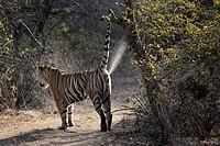 Bengal Tiger (Panthera tigris tigris) marking territory at tree, Ranthambhore national park, Rajastan, India.