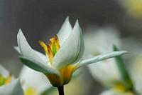 Botanical tulip closeup (Tulipana turkestanica)