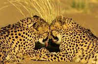 Cheetah (Acinonyx jubatus) - Grooming pair, photographed in captivity on a farm. . Namibia.