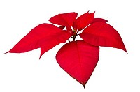 Red Christmas or Poinsettia isolated white background