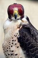 Peregrine falcon, hooded