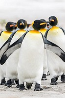King Penguin (Aptenodytes patagonicus) on the Falkand Islands in the South Atlantic. Group of penguins marching on sandy beach towards their colony. S...