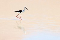 Black-winged Stilt (Himantopus himantopus) foraging in water with reflection, Sossusvlei, Namibia.
