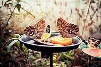 Butterflies and fruit