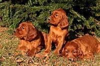 Irish Red Setter Puppies in nature