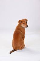 Harzer Fuchs, puppy, 3 months