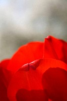 Bright red Tulip