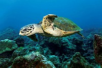 Loggerhead sea turtle or loggerhead (Caretta caretta) swimming over reef, Cocos Island, Costa Rica