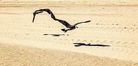 california seagulls at the sandy beach
