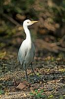 Cattle egret (Bubulcus ibis). Keoladeo Ghana National Park. Rajasthan. India.