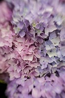 Abstract background of blue hydrangea