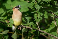 Cedar Waxwing (Bombycilla cedrorum) eats haskap berry (Lonicera caerulea); Warman, Saskatchewan, Canada