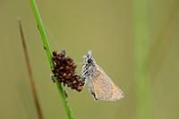 Small Skipper on a grass stalk