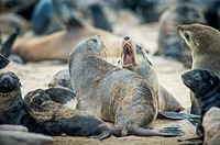 Cape Cross, Namibia, Africa - Cape Fur Seals (pinnipedia) on the Seal reserve of the Skeleton Coast.