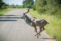 SOUTH AFRICA- Kruger National Park.