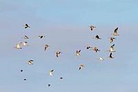 Flying Curlews