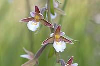 Marsh Helleborine (Epipactis palustris), flowers, Eifel National Park, North Rhine-Westphalia, Germany