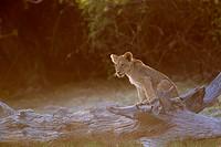 African lion (Panthera leo) -Young, Chobe National Park, Botswana.