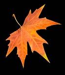 autumn leaf on a black background