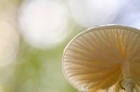 Porcelain Fungus (Oudemansiella mucida) in backlight.