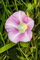 Toxomerus Hover Fly ( Toxomerus sp. ) on Morning Glory (Ipomea sp. ) Flower.