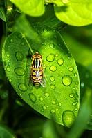 Flower Fly (Helophilus sp. ) on Honeysuckle (Lonicera japonica) Leaf with Morning Dew.