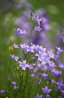 Close-up of a flower meadow with spreading bellflower (Campanula patula) blossoms in early summer.